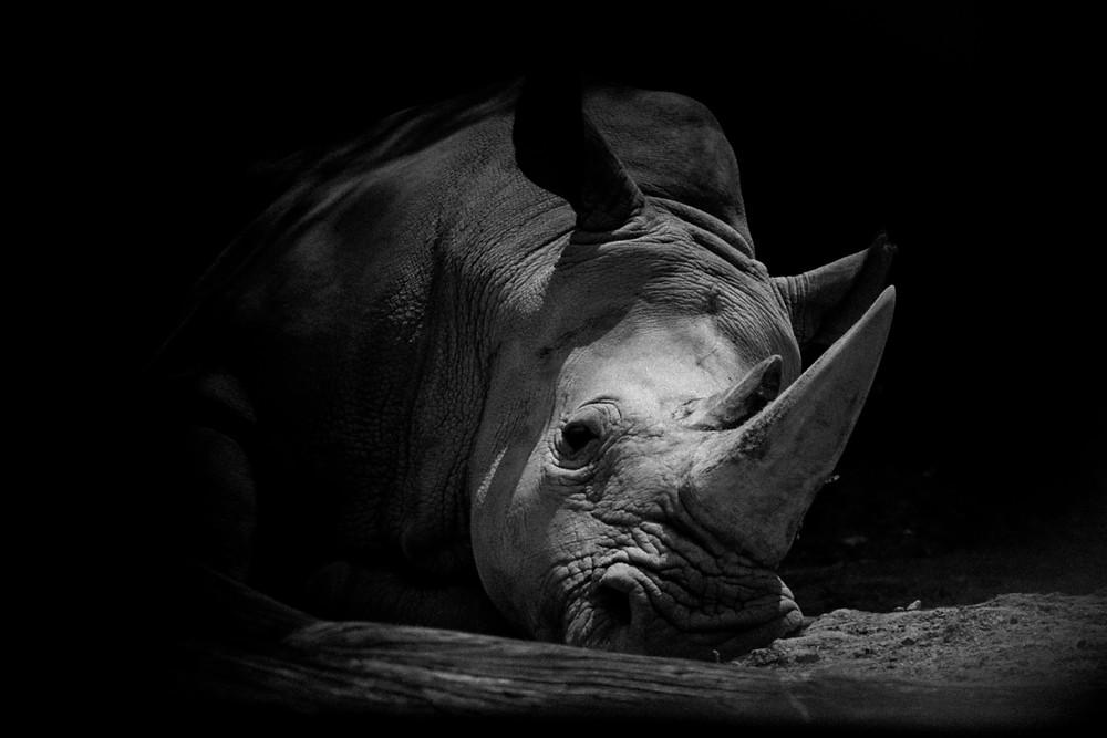 Rhino lying down