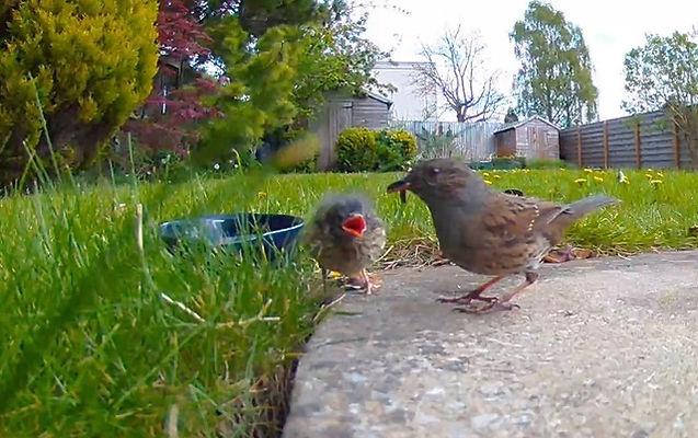 Sparrow fledgling.jpeg