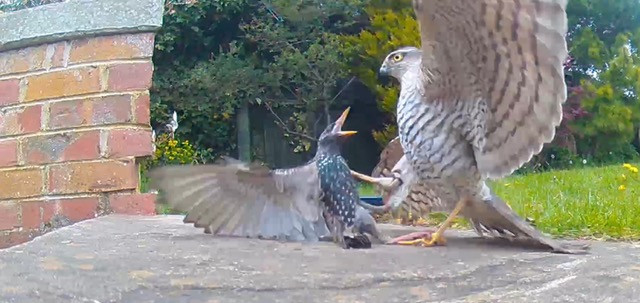 A sparrow hawk attacks a starling in the author's garden