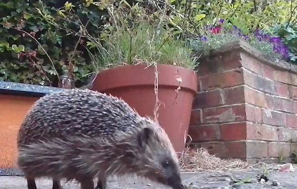 Hedgehog daylight.jpeg