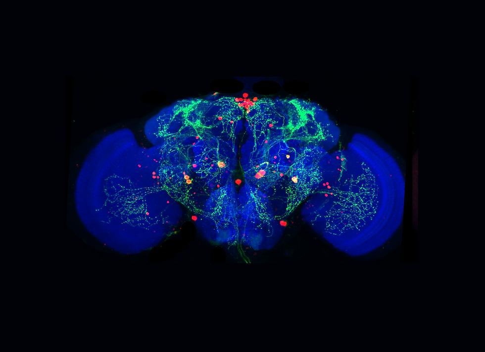 Fly Brain