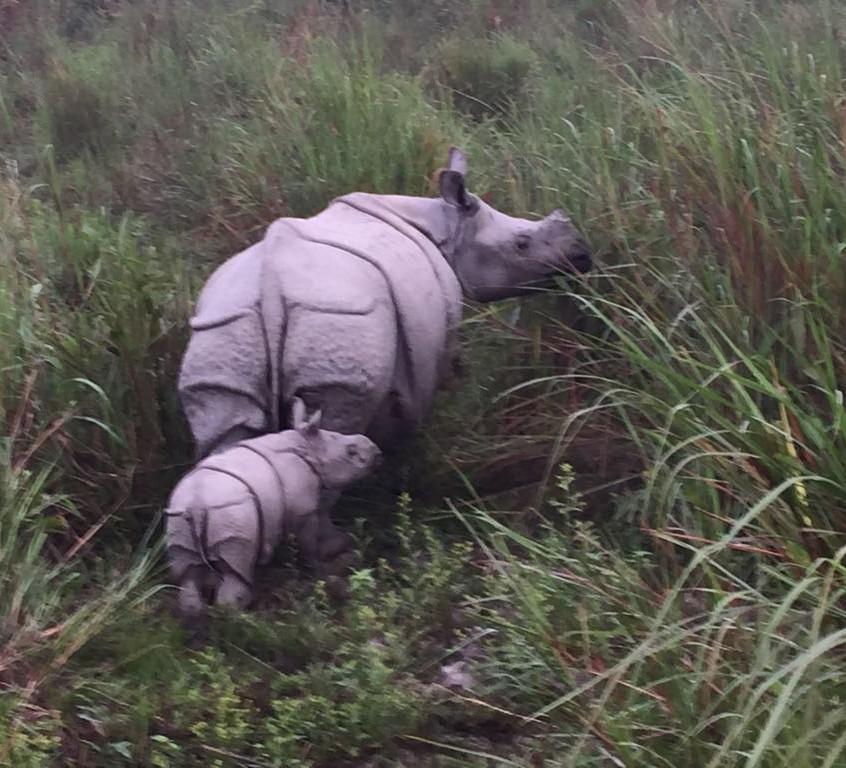 One horned rhino and baby at Kaziranga