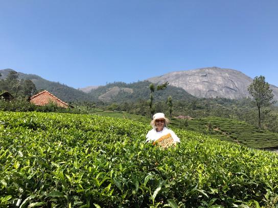 Tea picking, Munnar