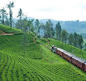 371_640_tea fields and train.jpg