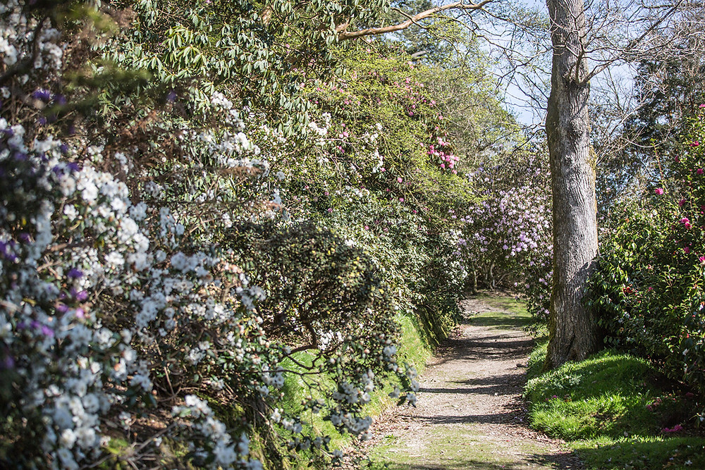 Path lined with blooms at Caerhays