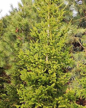 6 Picea Excelsa - Molid - 400-450 cm - 6