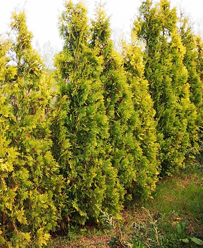 3%20Thuja%20occidentalist%20Yellow%20Rib