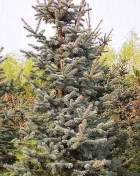 Picea Pungens Hoopsi - Molid argintiu altoit