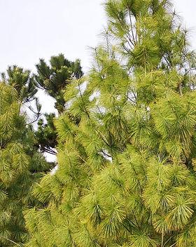 5 Pinus flexilis - Pin alb - 350-400 cm