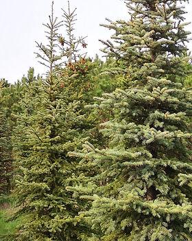 4 Picea pungens Argentea - Molid Arginti