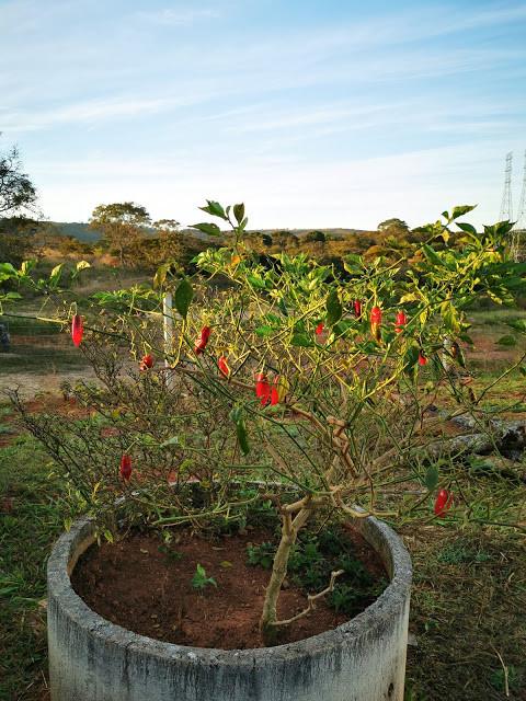 Pimenta – o fruto e folha de Exu