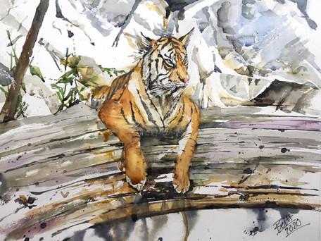 Tiger, contemplating