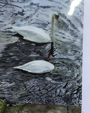 The ducking Swan