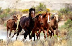 Wild Horses at Kaapsehoop