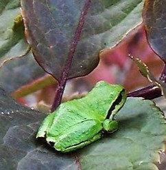 Lopez Frog puzzle