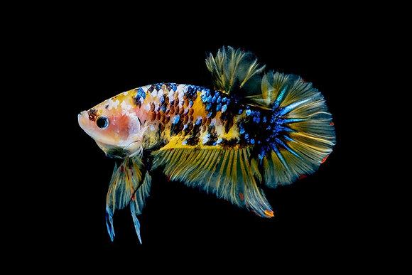 Koi Female