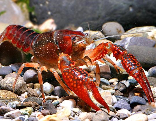 Swamp Red Crayfish SM