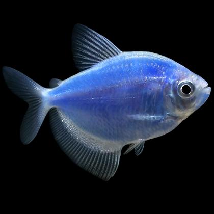 TETRA COSMIC BLUE®