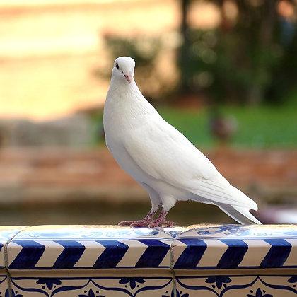White King Pigeons
