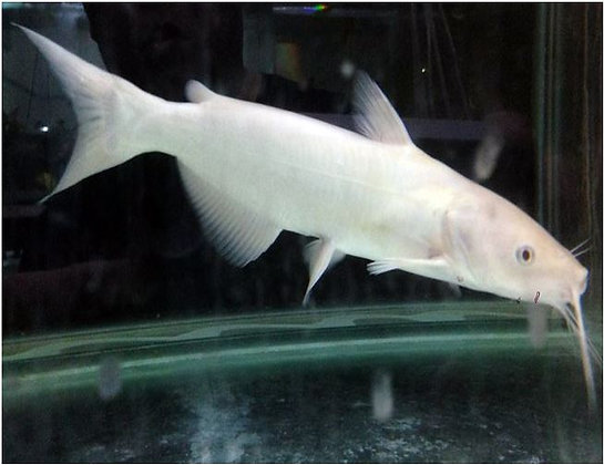 Albino Channel Catfish