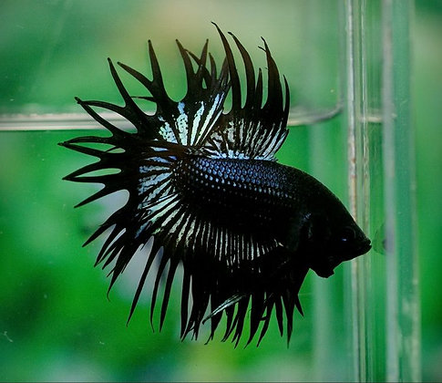 Black Orchid Crowntail Male