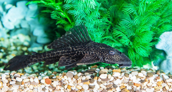 Common Pleco Large