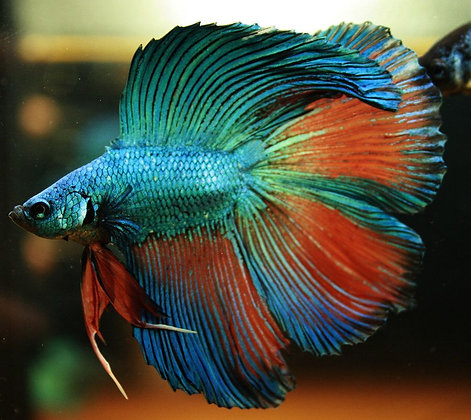 Assort Double tail Male