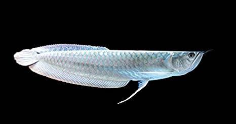 Silver Arrowana