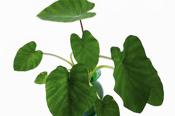 Elephant Ear Plant (BULB)