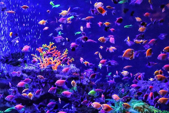 *SALE* ASSORTED GloFish