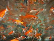 goldfish-178584_960_720.jpg