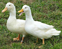 white-duclair-ducklings.jpg