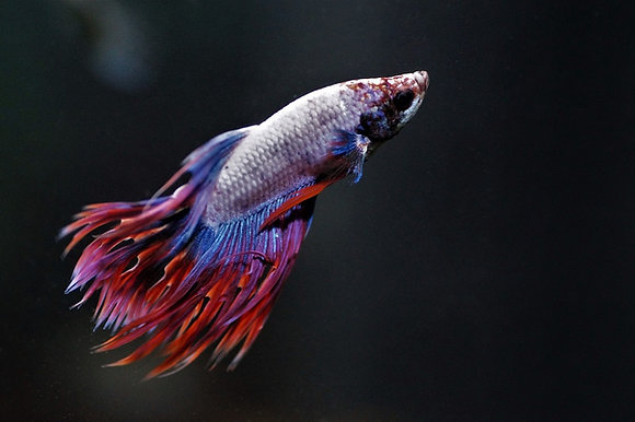 Assort Crowntail Male