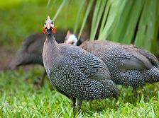 pearl-guinea-fowl-1.jpg