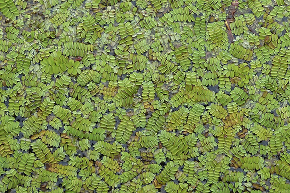 FLOAT: Salvinia Minima (SOLD BY 1oz)
