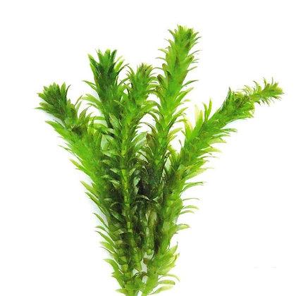 Anacharis Egeria Densa (Bunch cutting only)