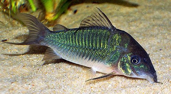 Green Cory Catfish