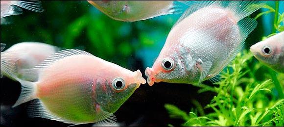 Kisser Pink Gourami