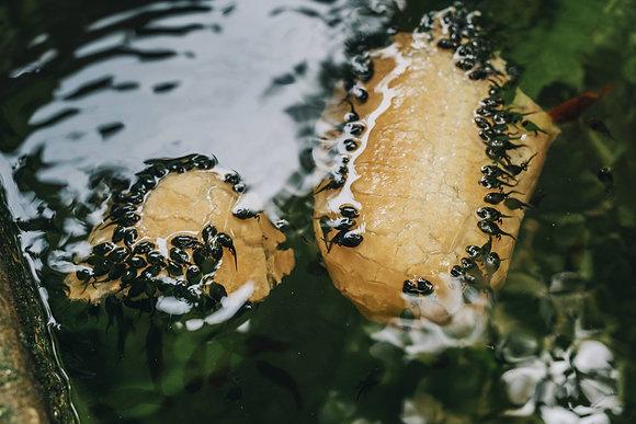Treefrog Tadpoles