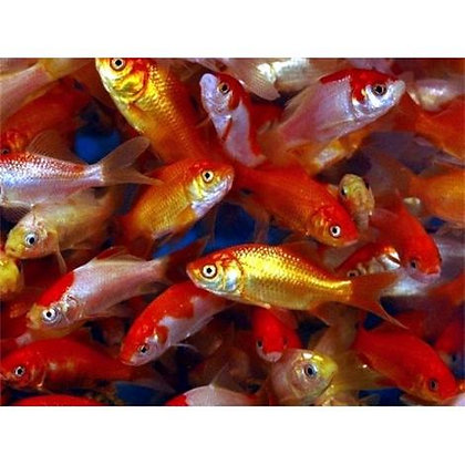 Goldfish Large