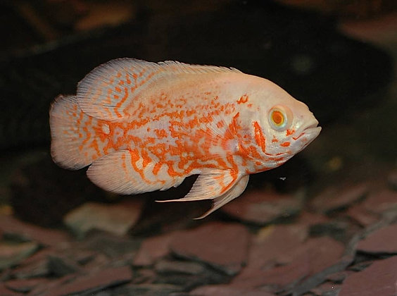 Albino Tiger Oscar Medium