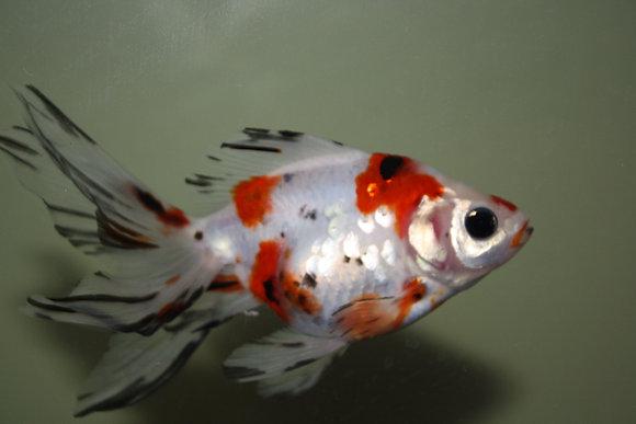 Calico Fancy Fantail Goldfish