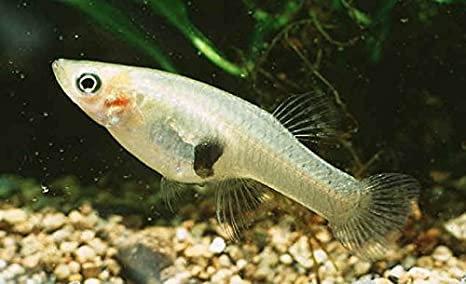 Mosquito Guppy Fish