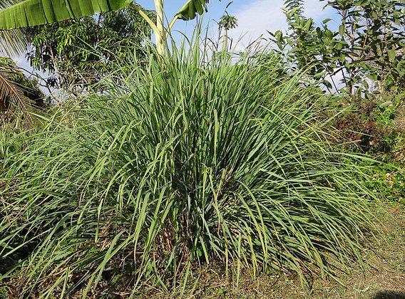 Lemongrass (MEDIUM)