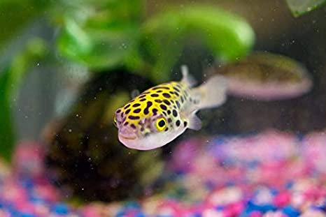 Puffer Spotted Fish