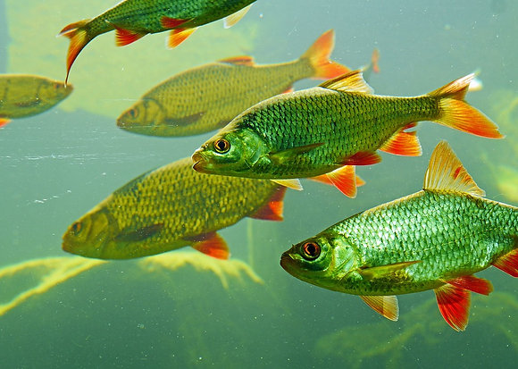 REDTAIL TINFOIL Barb ***IMPORT***
