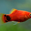 Thumbnail: Assorted Mickey Mouse Platy