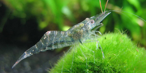 Ghost Shrimp