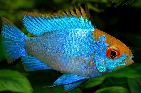 Electric Blue Ram