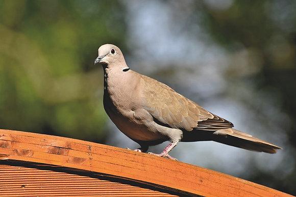 Wild Ringneck Dove